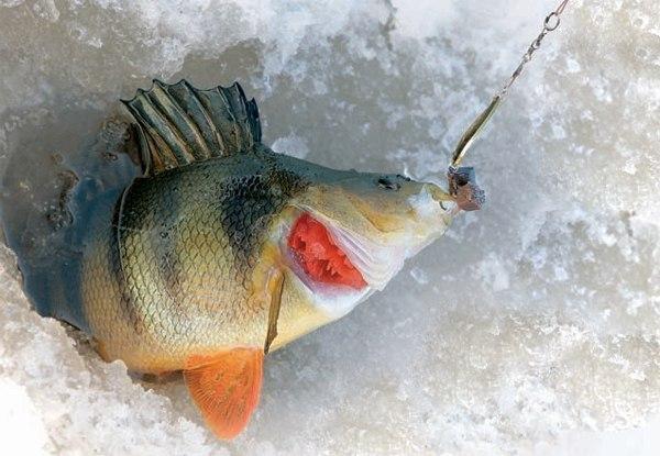 Хитрости зимней рыбалки, график ловли окуня зимой. график ловли окуня зимой он брал удочку