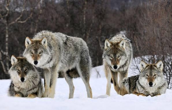Бешеный волк покусал мужчину в