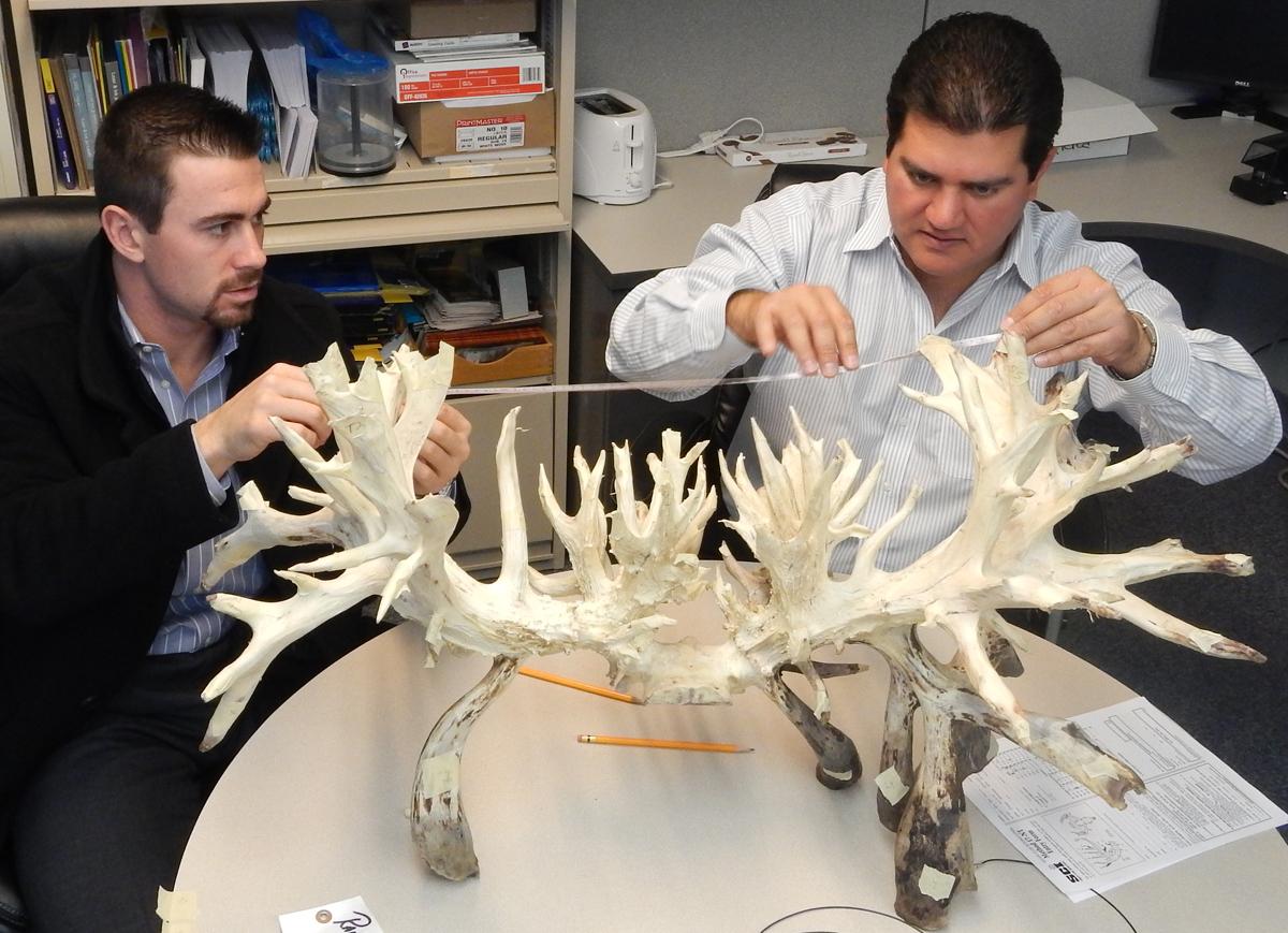 Новый мировой рекорд по размеру рогов белохвостого оленя CIS