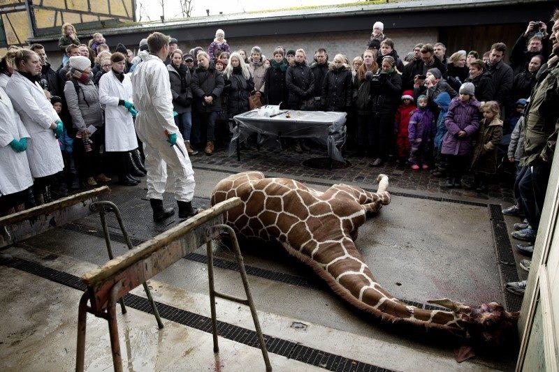 Жираф Мариус - как убивали жирафа