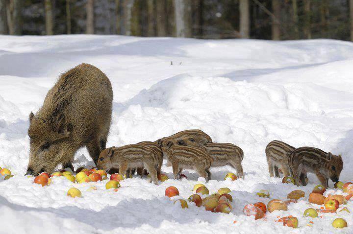 Кабан фаршированный яблоками