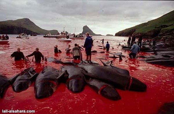 Уничтожение дельфинов в дании мариуполь прием макулатуры ростэк