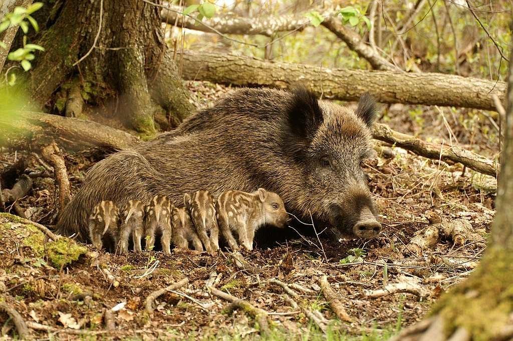 Охота на кабана, сезон охоты на кабана, сроки охоты на кабана, открытие охоты на кабана, способы охоты на кабана
