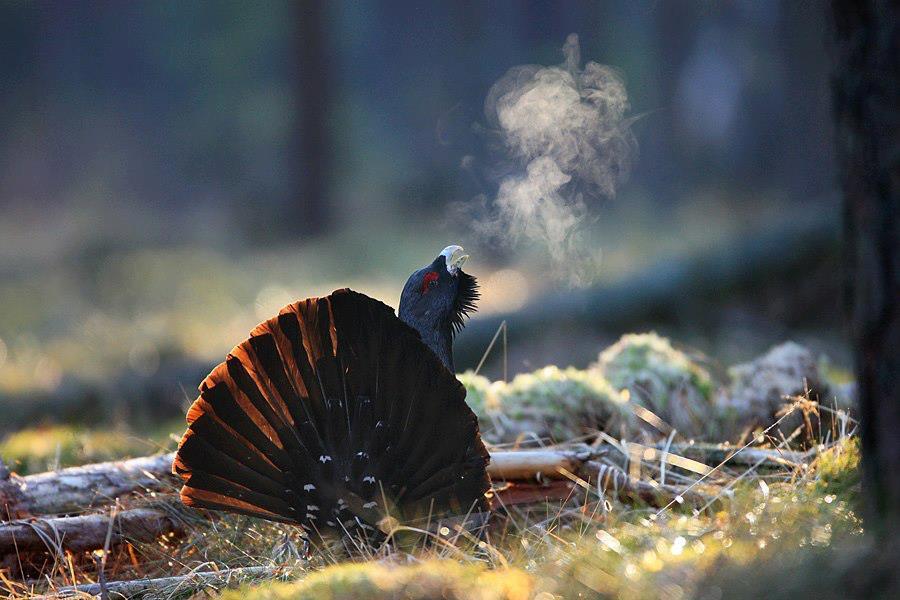 Глухарь птица зимой картинки