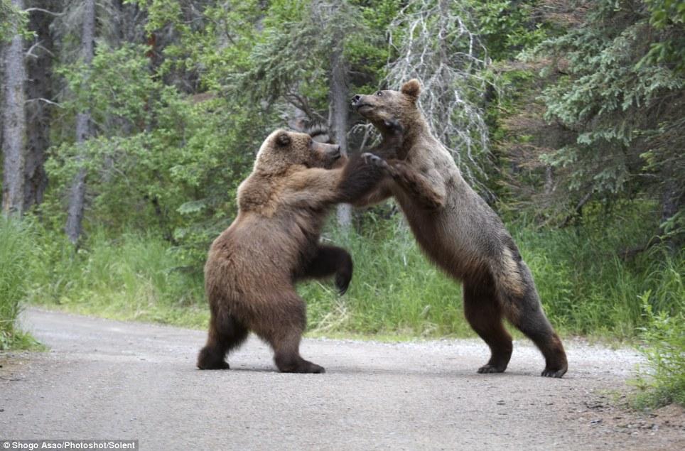 бурый медведь, гризли, русский медведь, американский медведь, драка медведей