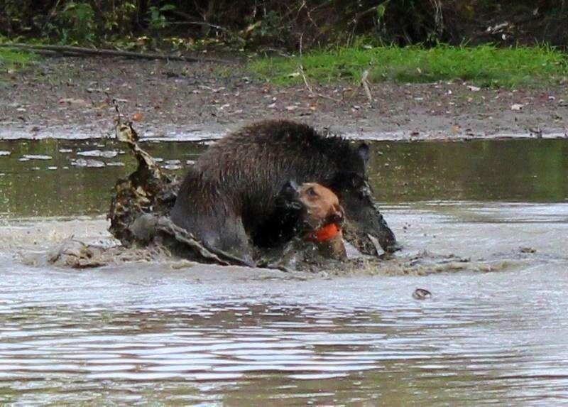 Охота на кабана - к открытию охоты на кабана следует тщательно готовиться