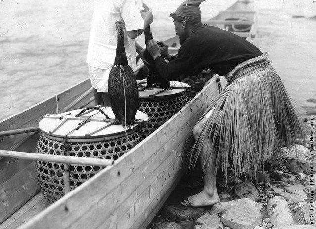 Рыбная ловля с бакланами в Японии