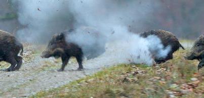 Охота на кабана, охота на кабана 2013, открытие охоты на кабана
