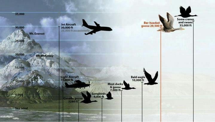 Высоты пролета перелетных птиц, на какой высоте летят перелетные гуси