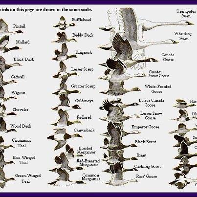 Видовое разнообразие гусиных и утиных, водоплавающие