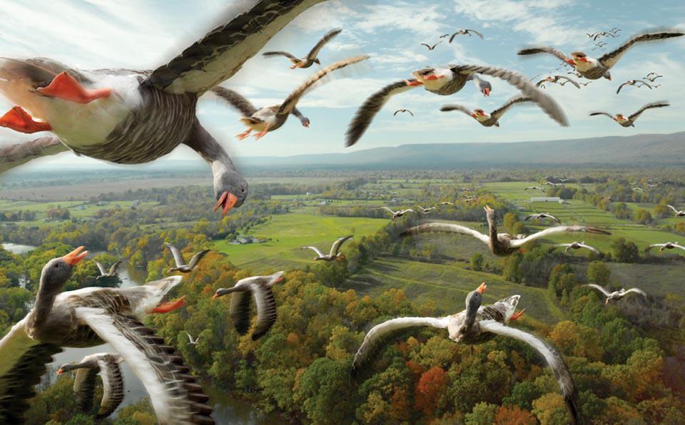 Перелетные гуси