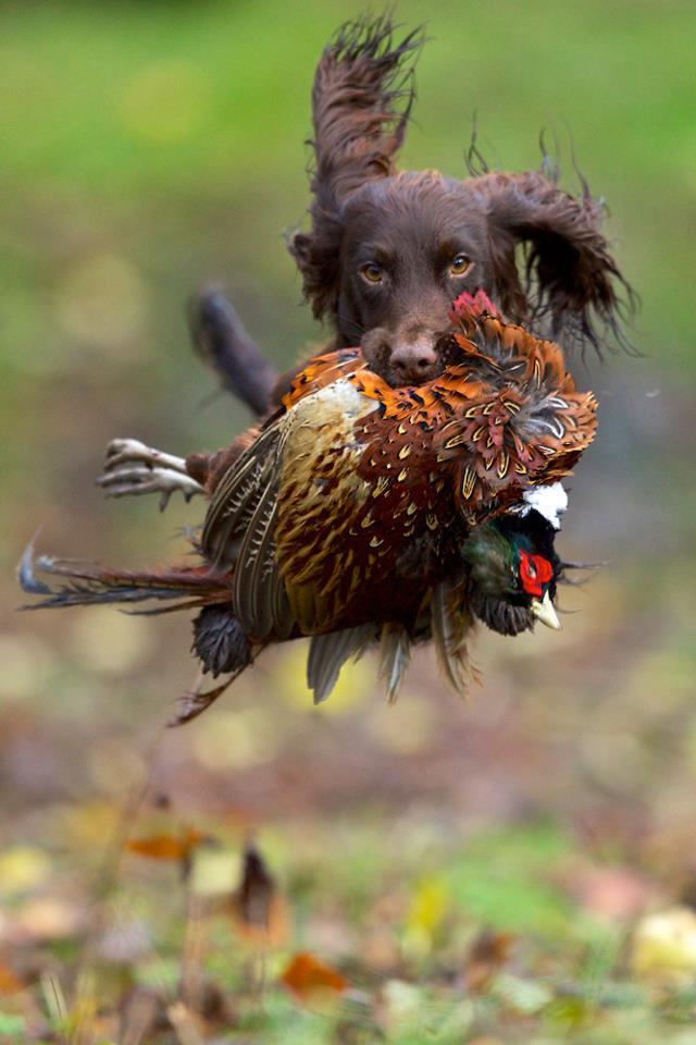 Охота на фазана, разведение фазана, охотничий фазан