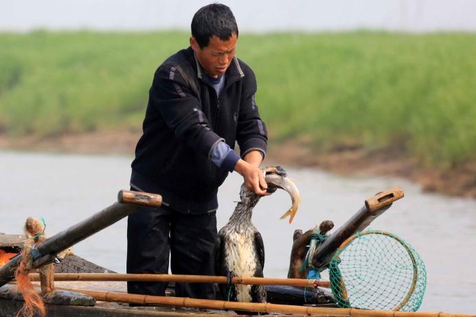 Чтобы опорожнить у птицы заполненный рыбой горловой мешок, китаец вытаскивает ее на борт