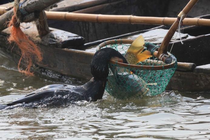 Крупную рыбу, которую баклан не способен проглотить и просто удерживает на поверхности, рыбак достает с помощью сачка