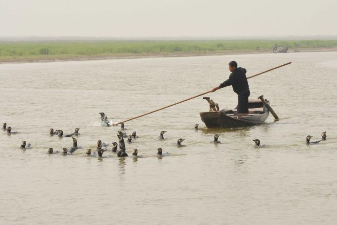 Рыбалка в китае при помощи бакланов
