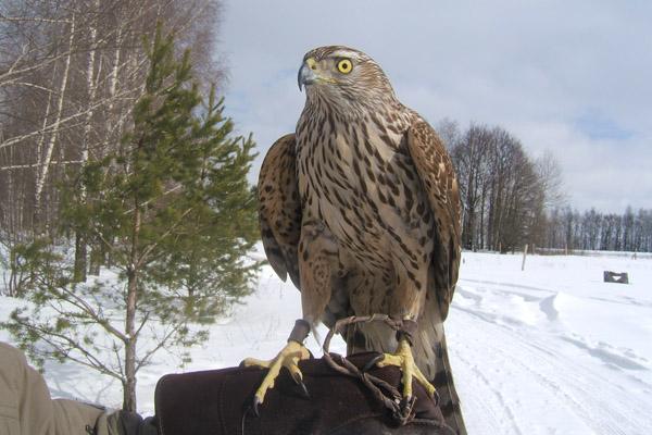 Охота с ловчими птицами: Взгляд со стороны на соколиную охоту