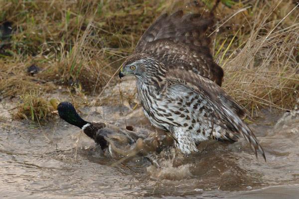 У соколиной охоты - богатые традиции: www.nexplorer.ru/news__2179.htm