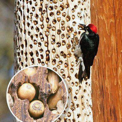 Кладовочки белок, мышей, бурундуков и дятлов - всегда содержать горсть-другую съедобных плодов