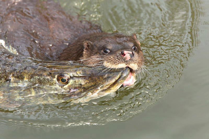 Поймать рыбу в пресной воде всегда можно при помощи остроги, морды, верши, веревки с крючком и массы других приспособлений