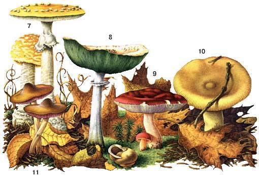 грибы волжанки фото и описание как готовить