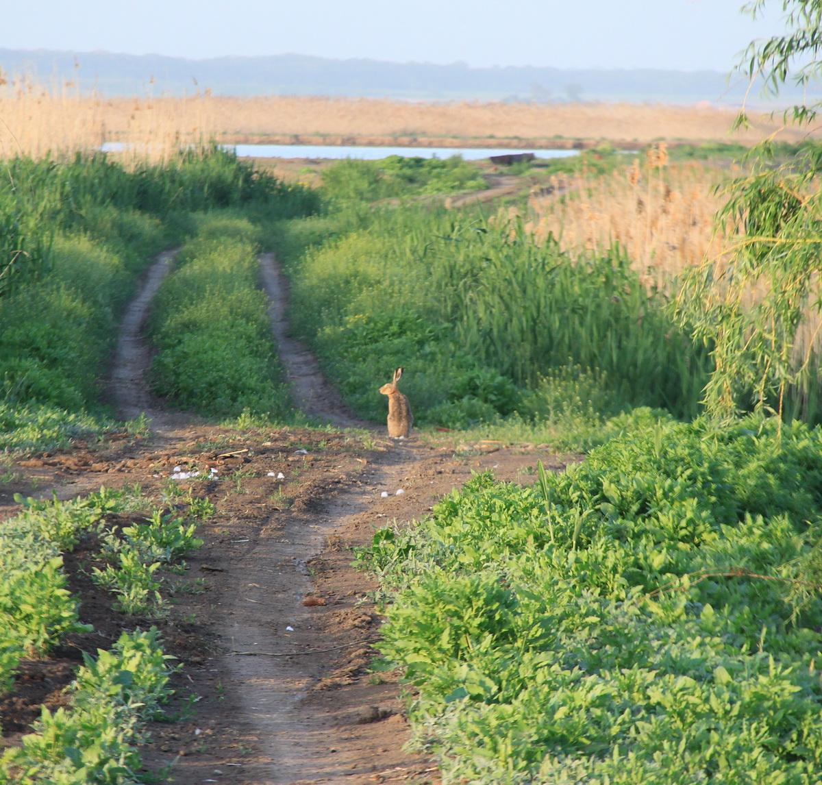 Заяц в Уткино в 100 метрах от дома егерей