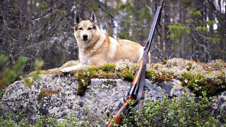 Охотничья лайка, охота с лайкой, лайка, натаска лайки