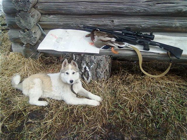 Охота с лайкой, щенки лайки, купить лайку, лайка для охоты
