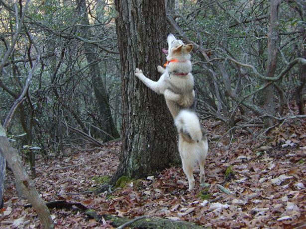 Охотничья лайка, лайка на охоте, охота с лайкой, натаска лайки, нагонка лайки