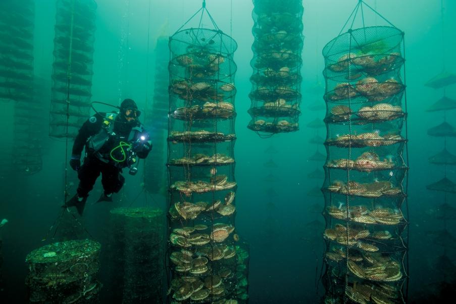 Гигантские гребешки – мизухопектен хоккайдский – естественный фильтр: они развиваются, поглощая отходы жизнедеятельности рыб на экспериментальной ферме у берегов канадского острова Ванкувер. Трепанги и морская капуста довершают очистку вод, поступающих из садков с угольной рыбой.