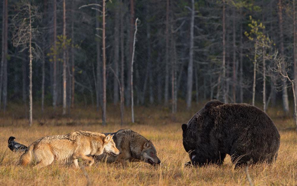 Волки и медведи, опасность для жизни, нападение волков и медведей на человека