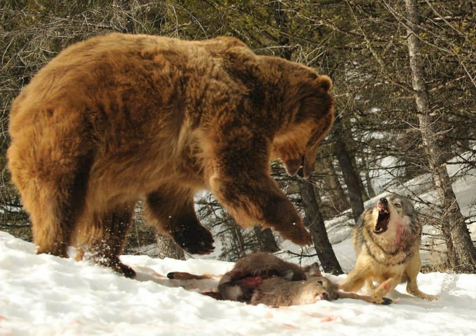 нападения волков и медведей на людей