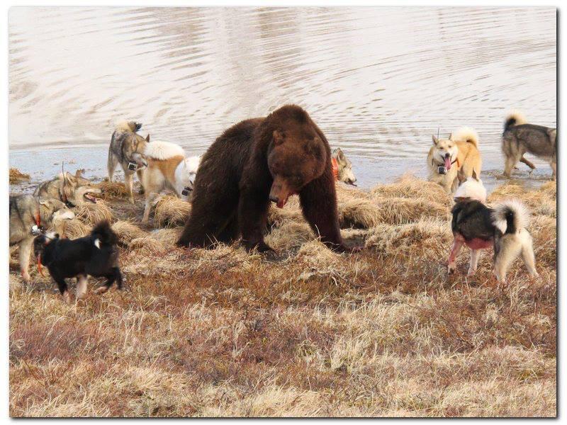 Натаска собак, нагонка собак, натаска лаек, натаска по медведю
