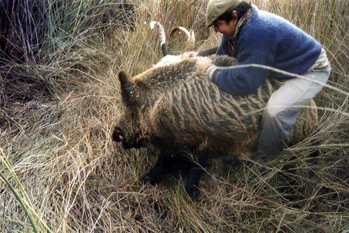 Охота на кабана, охота на кабана с холодным оружием, ачс свиней