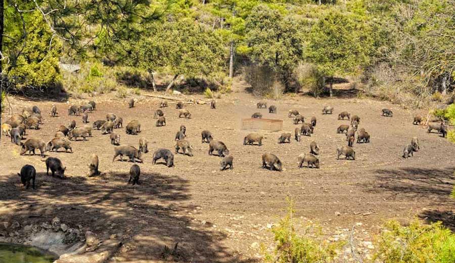 Охота на кабана на подкормочных площадках, охота на кабана с засидки, охота на кабана с вышки