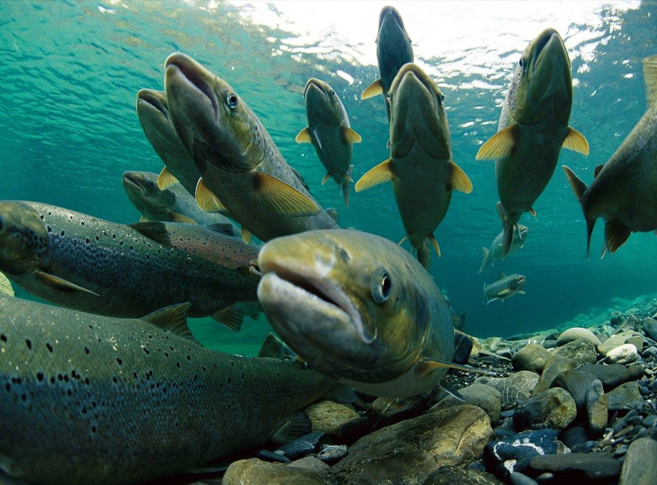 лососи идущие на нерест подводная съемка