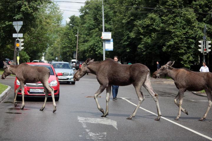 Лоси в Москве лоси в городе лось на дороге фото