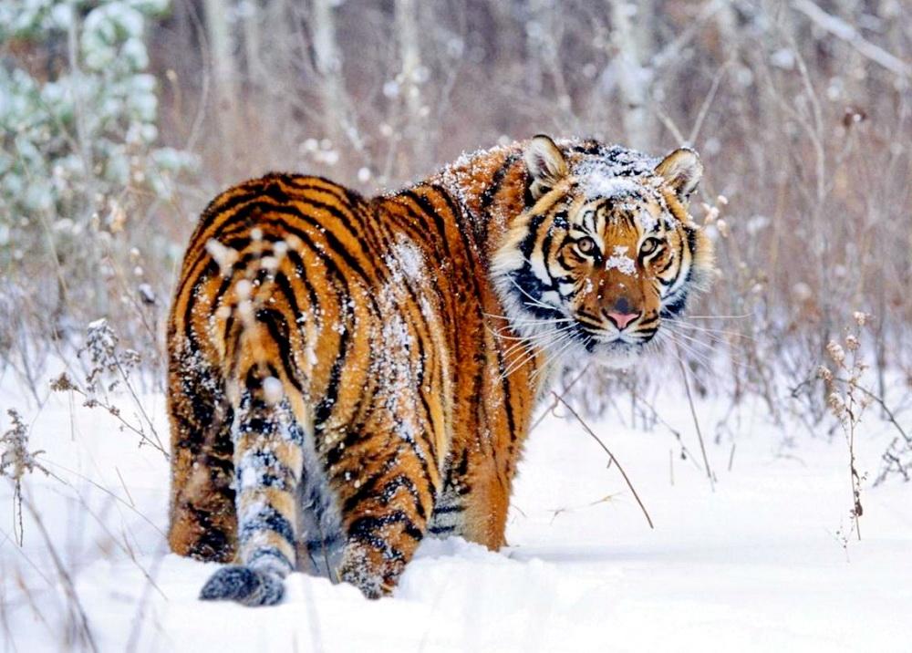 Амурский тигр фото, тигры дальний восток, учет тигров, охота на тигра, тигр фото