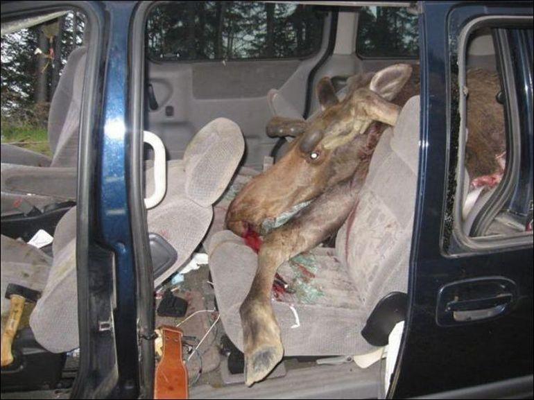 ДТП с животными - Что делать, если Вы сбили автомашиной кабана или лося - Виновны, как правило, Вы, и обязаны возместить ущерб
