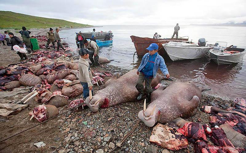 Морж, фото моржа, добыча моржа, охота на моржа, день моржа, мясо моржа, как добывают моржа, моржовый клыч, моржовый хрен