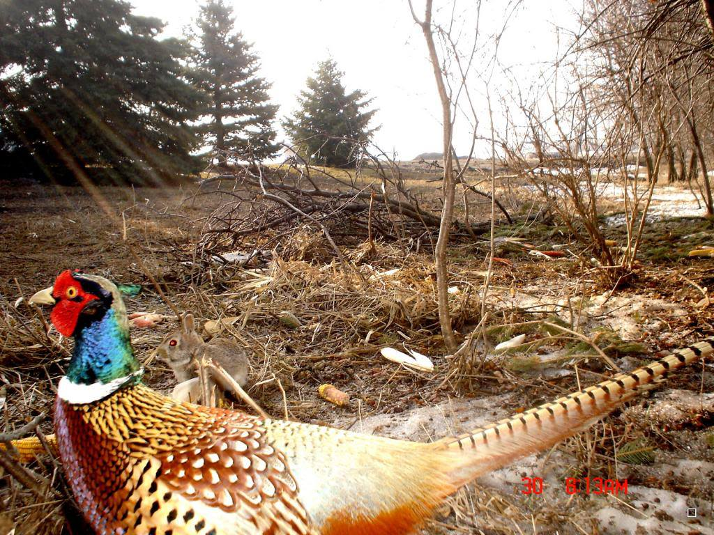 Охота на фазана охотничий фазан как