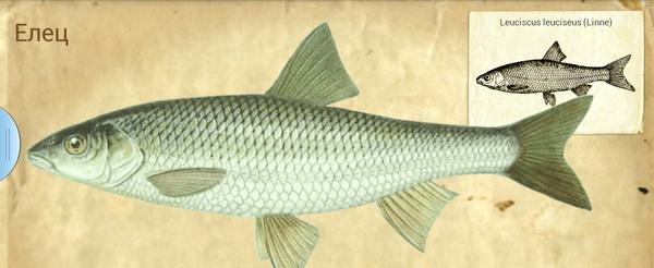 рыба елец как приготовить