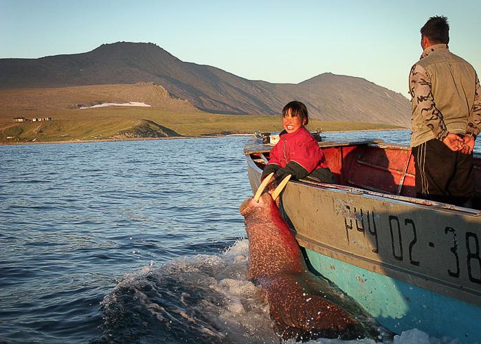 Охота на моржа, морж, день моржа, добыча моржа, фото моржа, отлов моржа, численность моржа