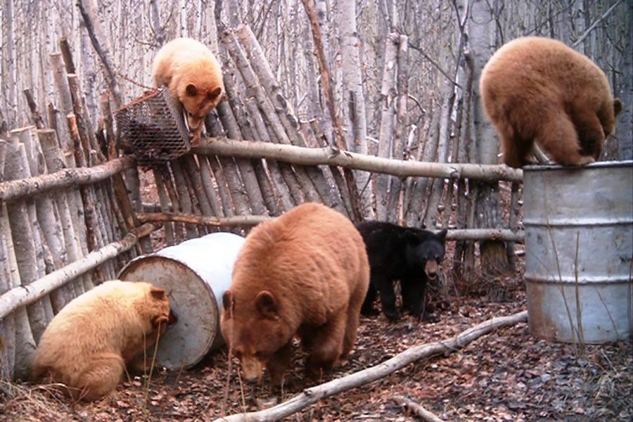 Медведи у жилья человека, медведи в городе