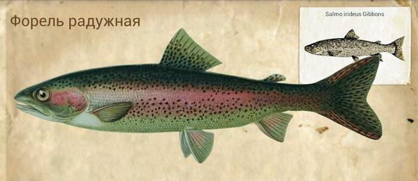 Форель радужная - Местные названия  Rainbow trout (англ.); Regenbogenforelle (нем.); truite arc-en-ciel (фр.); niji-masu (яп.).