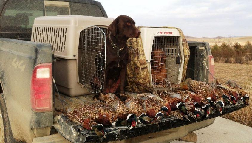 Охота на фазана с подружейной собакой