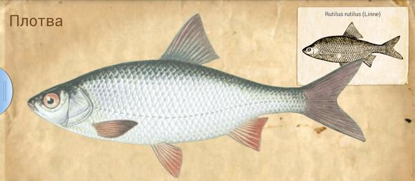 рыбы кубани фото с названиями