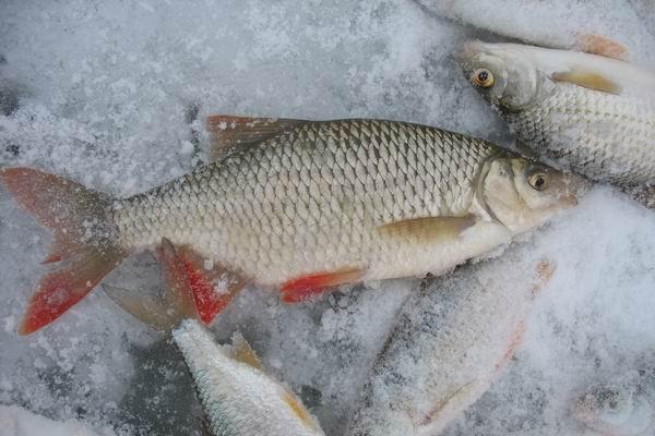 прикормка для красноперки русская рыбалка 1.6
