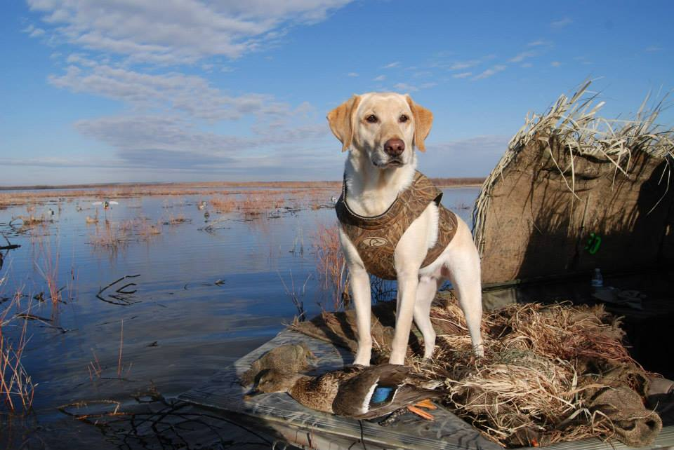Охотничьи собаки, охота с собакой, собака на охоте, прививки для охотничьей собаки, подготовка собаки к охоте, что взять на охоту, охотничья собака на охоте