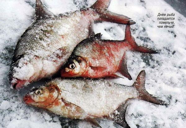 Ловля язя, зимняя рыбалка, ловля язя в декабре, ловля язя в январе, ловля язя зимой, ловля рыбы со льда, ловля рыбы зимой, удочка для зимней рыбалки, как сверлить лунку, лов со льда, рыбалка по первому льду