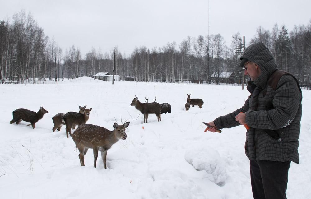 Разведение оленей в России